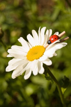 Camomile with a wooden ladybird on a pin Stock Photo - 5065078