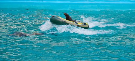A dolphin rescuing fur seal in an air boat as a part of performance photo