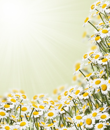 Daisies against light green background with copy space photo