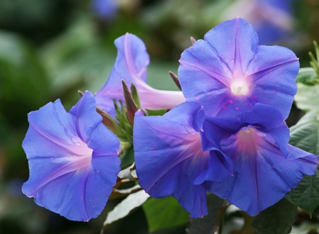 morning glory: Blue and Lavender Morning Glory Wildflowers Stock Photo