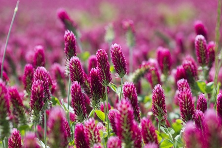 Crimson Clover Crop - Trifolium incarnatum, crop grown in Alabama for adding nutrients to the soil for other crops. Stock Photo