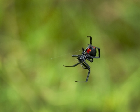 Black Widow Spider, Latrodectus,  with her red hour glass showing on her tummy. She is hanging on an almost invisible web.
