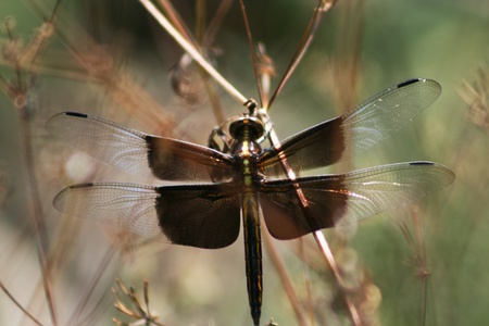 shimmery: Widow Skimmer Dragonfly, Libellula luctuosa, with black and clear wings with white accents. These sit very near ponds in Alabama.  Stock Photo