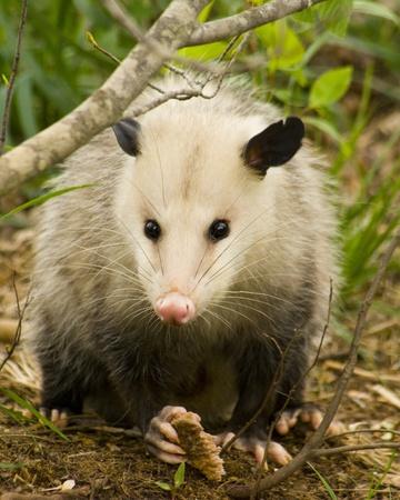 Opossum, oder Possum, Didelphimorphia, ist ein Beuteltier lebt in Alabama Standard-Bild - 10312247