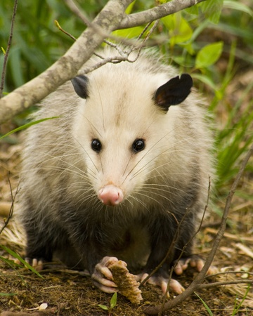 Opossum, or Possum, Didelphimorphia, is a Marsupial living in Alabama Stok Fotoğraf - 10312247