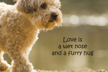 Love Is A Wet Nose And A Furry Hug Yorkie Poo Standard-Bild - 10378153