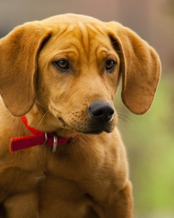 lop eared: Lop Eared Amber Hound Dog