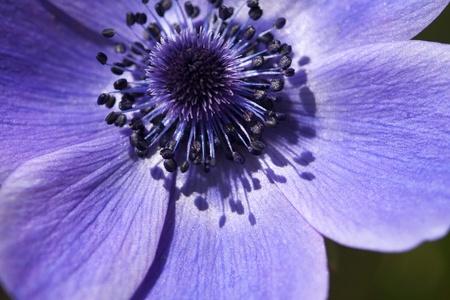anemone flower: Blu Anemone Flower - Ranunculaceae 2