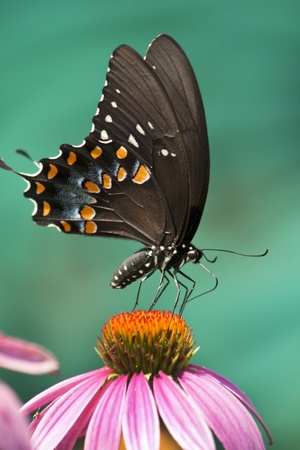 swallowtail: Spicebush Swallowtail Butterfly Stock Photo