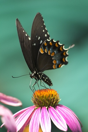 Spicebush Swallowtail on Coneflower Stock Photo - 10702974