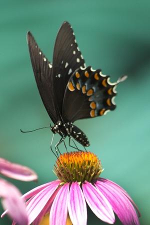 papilio: Spicebush Swallowtail on Coneflower Stock Photo