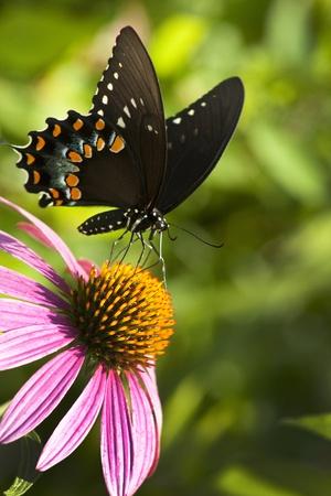 Spicebush Swallowtail Butterfly - Papilio troilus photo