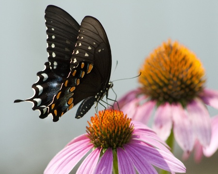 alabama: Spicebush Swallowtail Butterfly - Papilio troilus on Coneflower Stock Photo