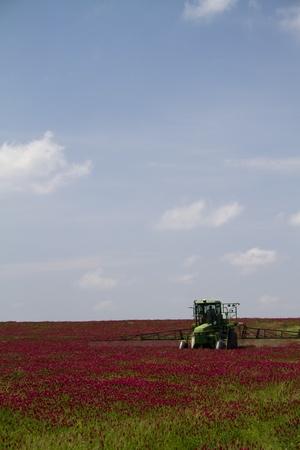 trifolium: Crimson Clover Fields - Trifolium incarnatum Stock Photo