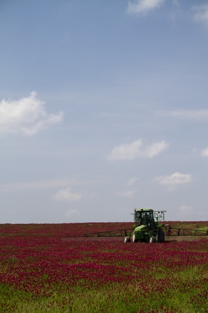 Crimson Clover Fields - Trifolium incarnatum 版權商用圖片