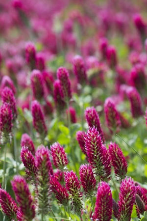 Crimson Clover Blossoms - Trifolium incarnatum Stock Photo - 10961780