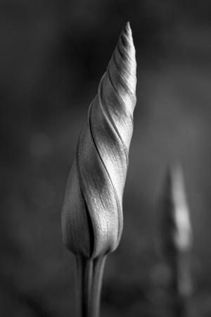 moonflower: Shimmering Moonflower Buds