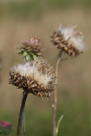 bristle: Bristle Thistle Seed heads - Carduus nutans
