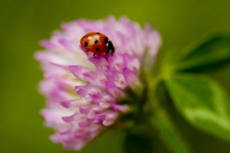 trifolium: Lensbaby Ladybug on Pink Clover Wildflower