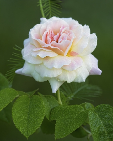 Romantic Pink Climbing Peace Rose with Dew
