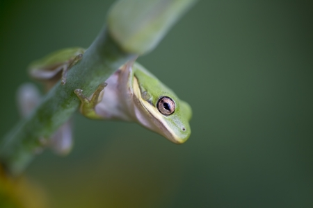 cinerea: Tiny Alabama Green Tree Frog - Hyla cinerea  Stock Photo