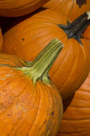 squash vegetable: Pumpkin is a Squash Vegetable