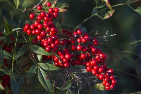 Bright Red Nandina Domestica Berries Фото со стока - 18451580