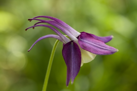 pouty: Nodding Purple and Yellow Columbine Flower - Aquilegia Stock Photo