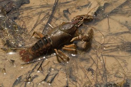 Alabama Crayfish - Crawdad - Cambarus acanthura Stock Photo
