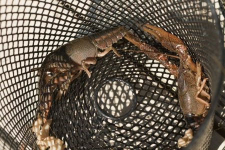 Alabama Crayfish - Crawdad - Trap