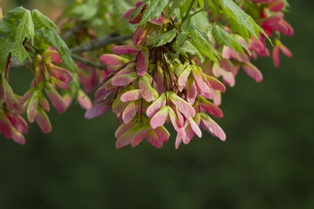 acer: Acer pseudoplatanus - Pink Winged Maple Seeds - Left View
