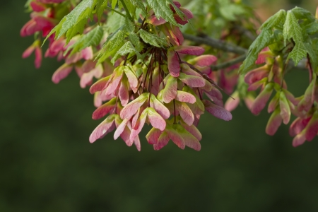 acer: Acer pseudoplatanus - Pink Winged Maple Seeds - Right View Stock Photo