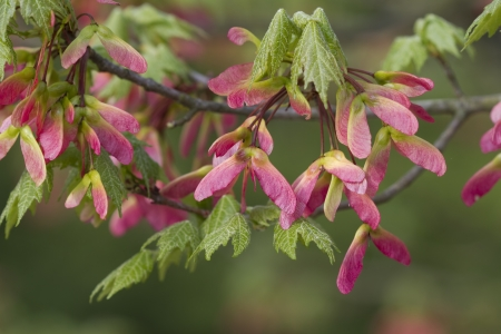 acer: Wind Flying Pink Maple Seed Flyers