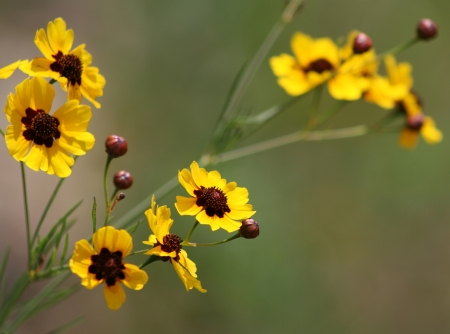 tickseed: Alabama Coreopsis tinctoria - Tickseed Wildflowers
