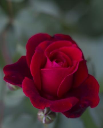 Don Juan Dark Red Climbing Rose Blossom