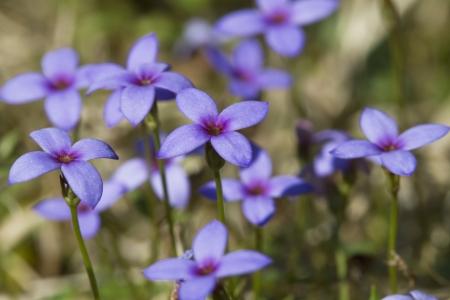 Flores silvestres Bluet minúsculas - Houstonia pusilla Foto de archivo - 20873125