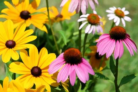Black Eyed Susan and Coneflower Flower Garden