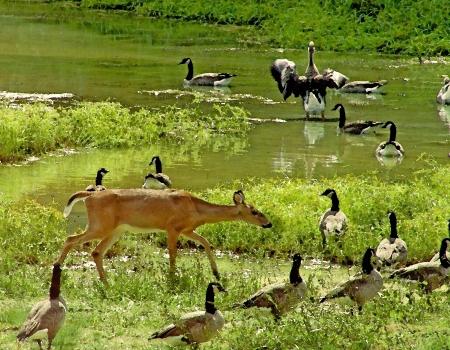 waterfowl: Alabama Whitetail Deer and Waterfowl