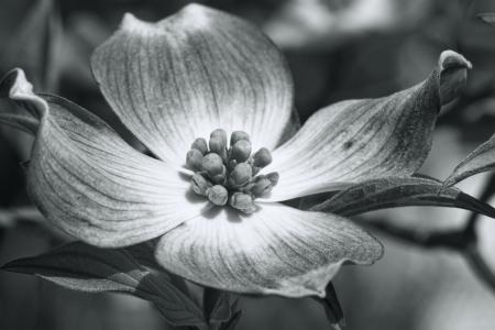 흑백 개화 층 층화 꽃 매크로