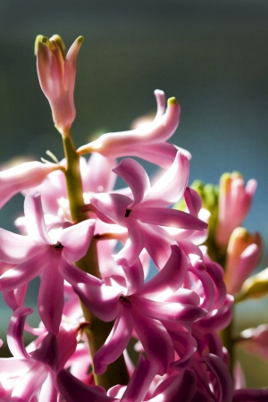 hyacinthus: Pink primavera florece Jacinto - Hyacinthus orientalis