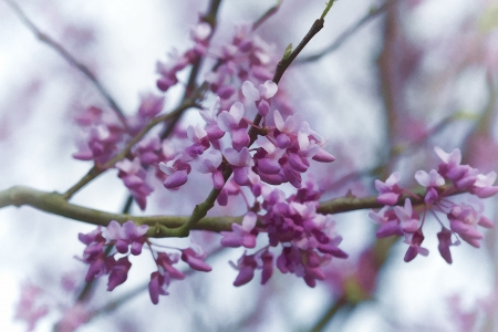 OstRedbud Blossom Blumen Standard-Bild - 25295886