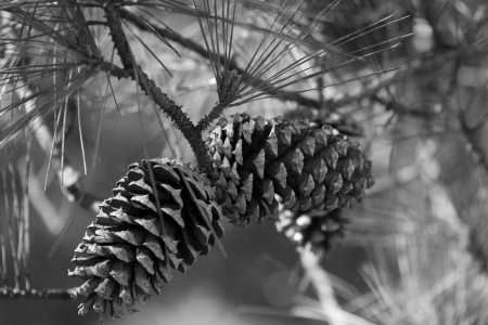 Ponderosa Pinecones and Needles in Black and White