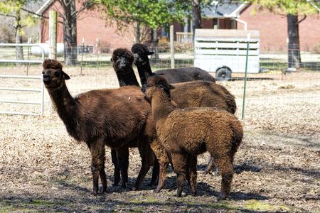 Peruvian Alpacas Family -  Vicugna pacos photo