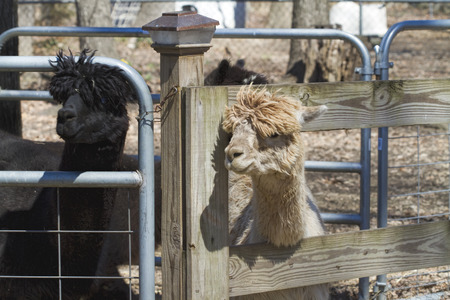 penned: Penned Alpacas - Vicugna pacos Stock Photo