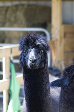 Black Mature Adult Alpaca - Vicugna pacos photo