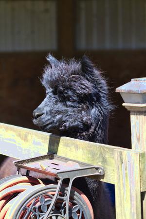 penned: Penned Black Alpaca - Vicugna pacos