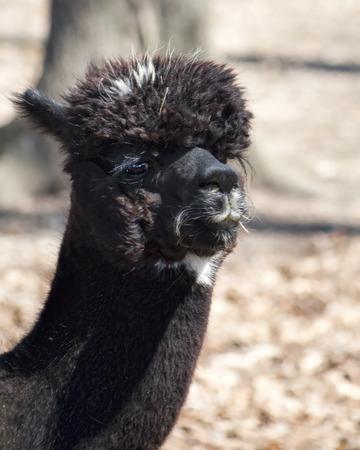 Spotted Black Alpaca - Vicugna pacos photo