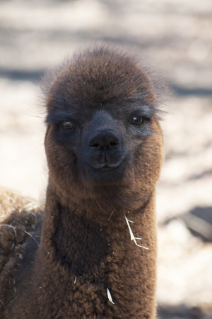 Brown Alpaca Infant - Vicugna pacos photo