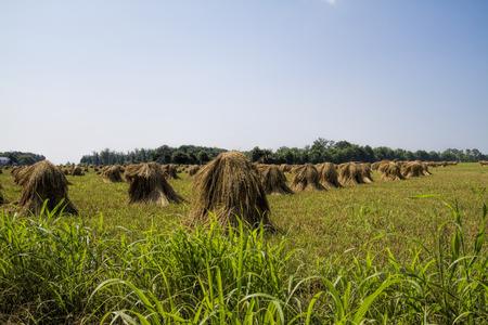 Amish Handcut pilas del trigo Foto de archivo - 36907157