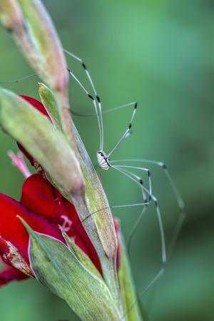 harvestman: Harvestman Daddy Long Leg Spider on Gladiola